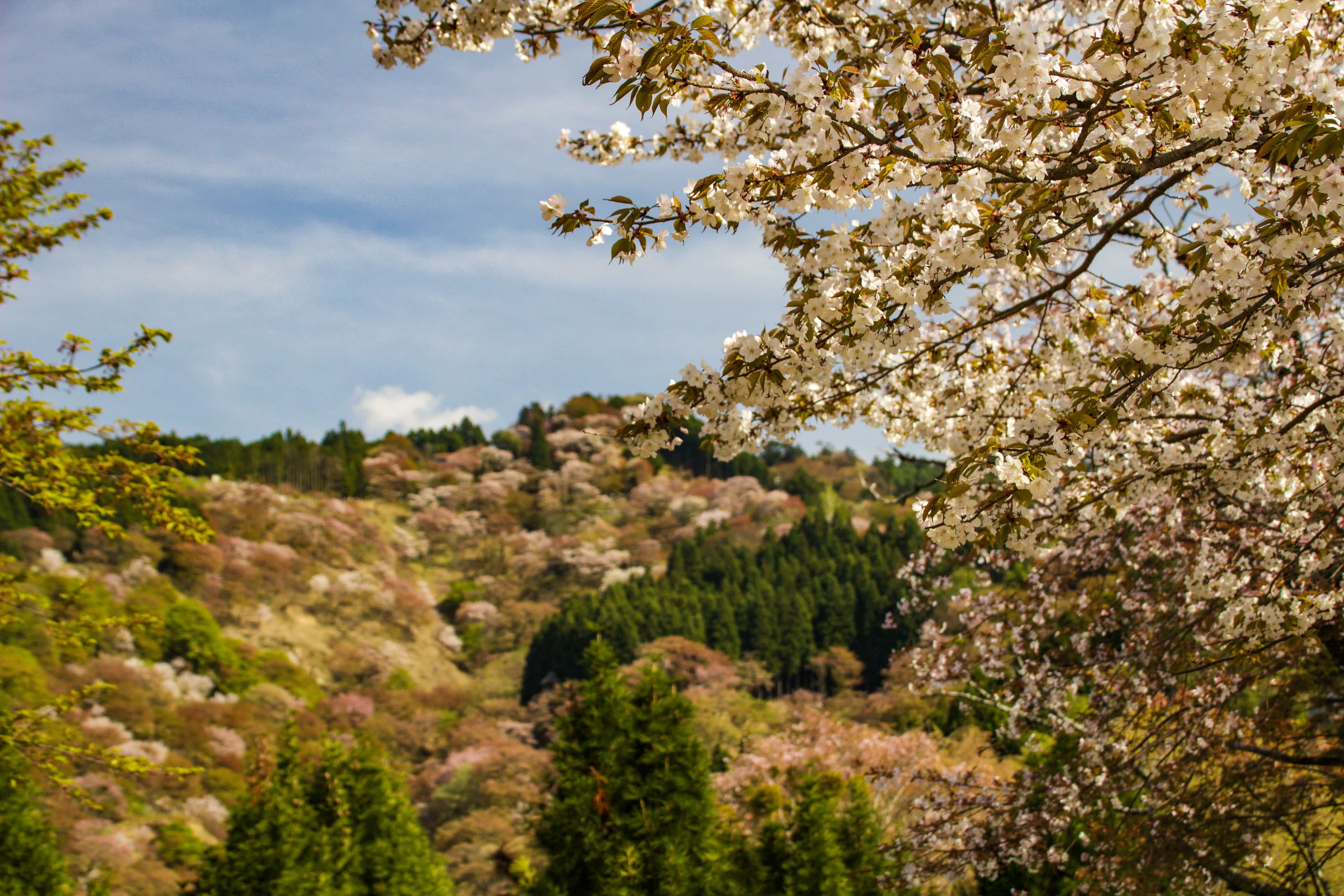 I had thought that Mt. Yoshino would just be a pretty hike up a mountain to see cherry blossoms, but it ended up being a very cultural experience as well! Read more at www.thefivefoottraveler.com